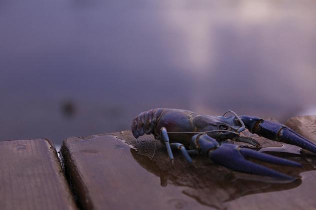 bluecranpjp
